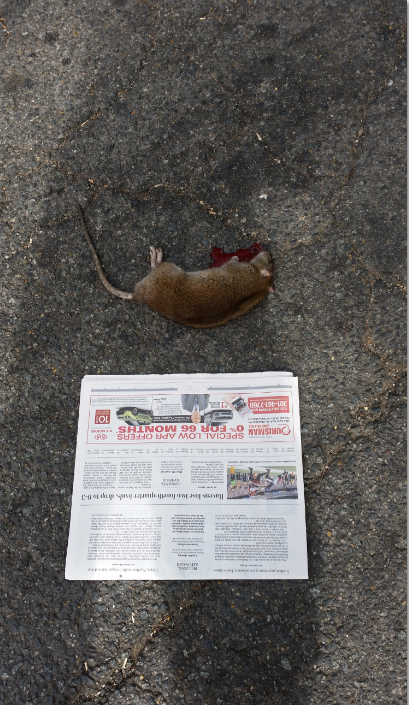 The rat in the previous picture alongside a section of the Washington Post, for scale.  CHC subsequently called the Mayor's Hotline 411 to have the carcass removed